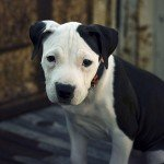 American Pit Bull Terrier Pup