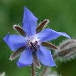 Wild Borage Flower