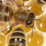 Honeybees at work making honey