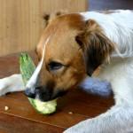 Flynn eating zucchini