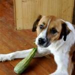 Flynn loves zucchini