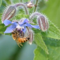 Honey bee on borage flower